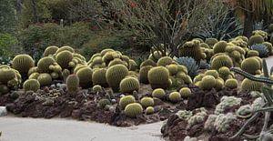 Cactus Schoonmoedersstoel in Huntington Gardens
