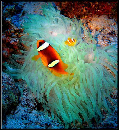 Nemo - vader en zoon clownfish van