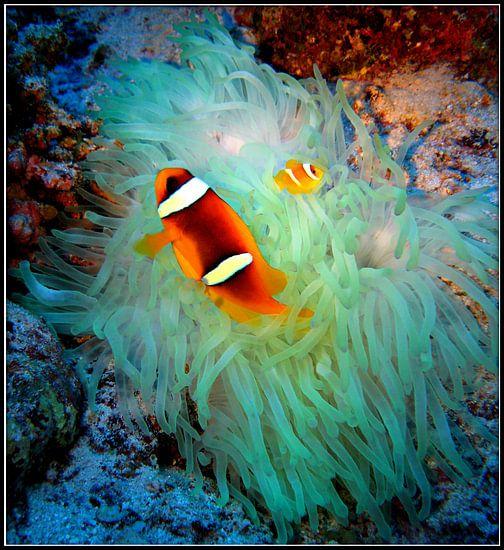 Nemo - vader en zoon clownfish van Wijnand Plekker