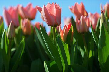 Tulpen op de geestgronden bij Lisse van Georges Hoeberechts
