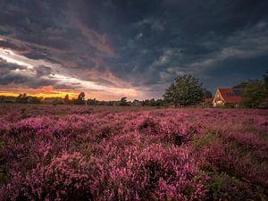 Blühende Heide auf dem Buursezand von Hans Brasz