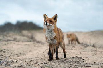 ein Fuchs und noch ein Fuchs... Rotfüchse *Vulpes vulpes* von wunderbare Erde
