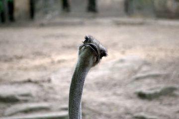 Verbaasde stuisvogel van Marjolijn Vledder