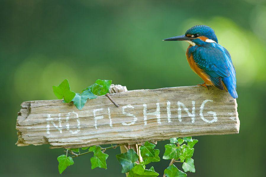 IJsvogel - No fishing van IJsvogels.nl - Corné van Oosterhout