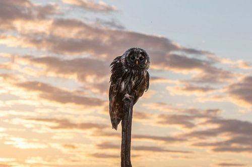 Sperweruil bij zonsondergang