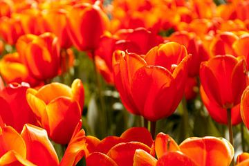 Oranje tulpen sur Stedom Fotografie