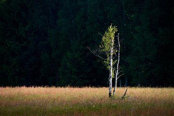 Birke im Sonnenlicht von Max Schiefele