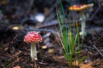 rot mit weißen Punkten Fliegenpilz im Wald von Compuinfoto .