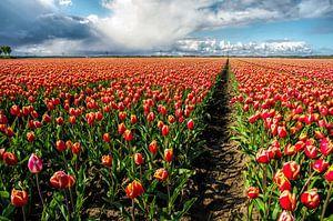 Tulpen uit Dronten