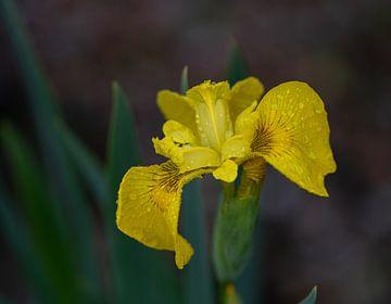 Gele Lis met regendruppels van Ingrid Aanen