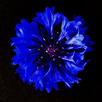 Kornblumenblüte von Thomas Jäger