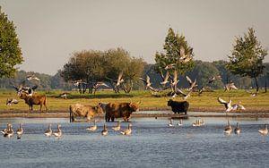 Schotse Hooglanders in Drenthe