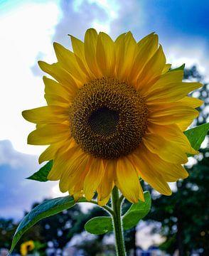 zonnebloem in bloei van ticus media