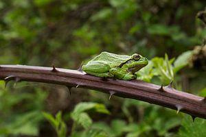 Groene boomkikker van