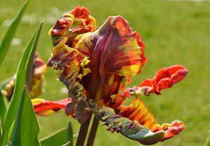 Tulp van Yolande Mulder