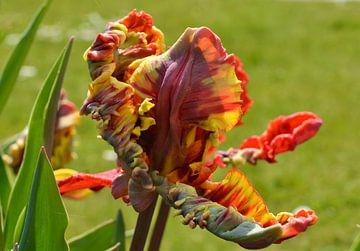 Tulpe von Yolande Mulder