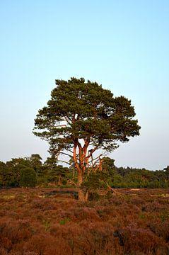 Waldkiefer auf einer Heide von Gerard de Zwaan