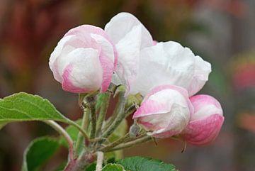 weiß rosa Blüten und Knospen in einem Apfelbaum Zweig von Robin Verhoef