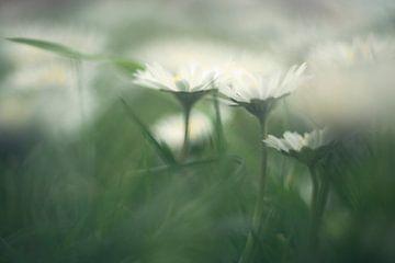 Gänseblümchen in Gras... von Anneke Reiss