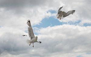 twee zeemeeuwen dansen in de lucht