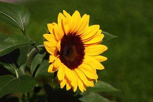 zonnebloemportret van lieve maréchal