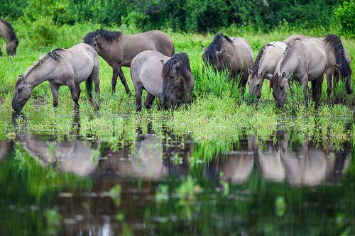 Kudde Konikpaarden