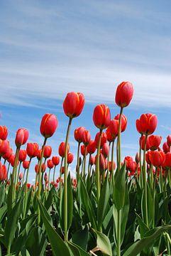 Rote Tulpen von Leuntje 's shop
