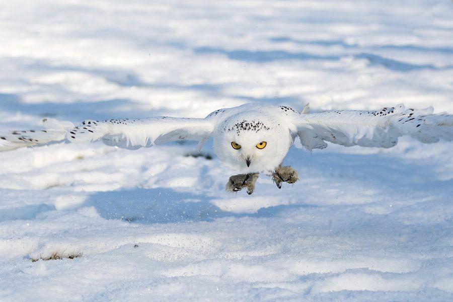 sneeuwuil patries photo op canvas behang en meer