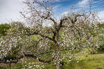 Obstbaum mit Blüte von Carin IJpelaar
