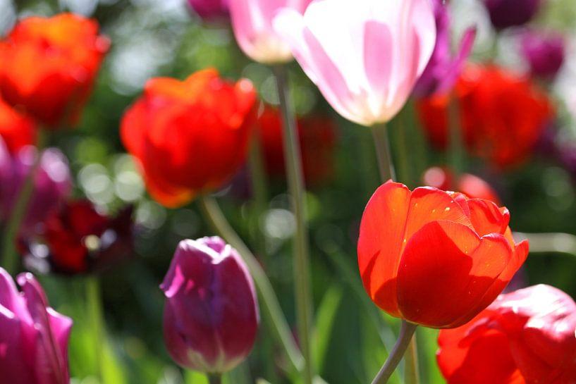 Tulpen in de Keukenhof (4) van Antwan Janssen