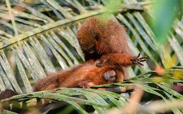 Le singe profite d'un traitement de beauté sur Lennart Verheuvel