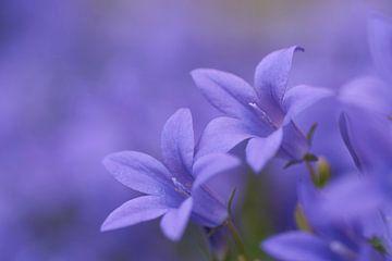Blaue Campanula von Cor de Hamer