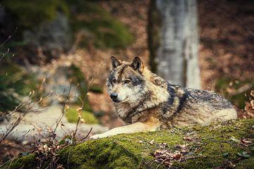 Wolf en Bos van Tobias Luxberg