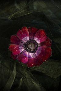 stilleven anemoon bloem