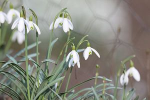 sneeuwklokjes in het Februari zonnetje van