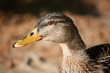 female duck van