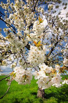 Kirschblüten sur Steffen Gierok