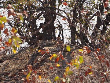Geparden, Krüger-Nationalpark von Marleen Berendse