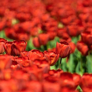 Rode tulpenveld van Floris van Woudenberg