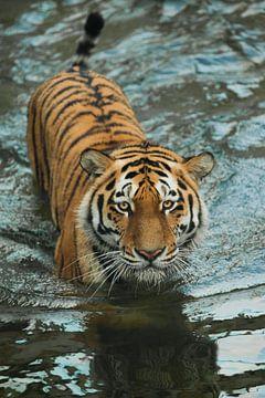 kruipt op het water, een zorgvuldige blik. jonge mooie tijger met expressieve ogen loopt op het wate van Michael Semenov