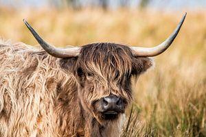 Scottish Highlander von Gert Hilbink