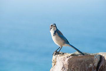 Blue Jay von Robert Styppa