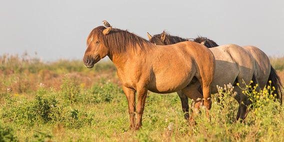 Paarden | Konikpaarden met spreeuw - Oostvaardersplassen