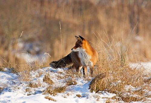 Fox dans la neige sur Anton de Zeeuw