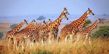 Rothschild-Giraffen im Murchison Falls Nationalpark Uganda von W. Woyke