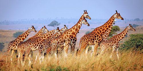 Rothschild-Giraffen im Murchison Falls Nationalpark Uganda