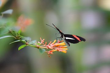 Schwarzer und roter Schmetterling auf einer orangefarbenen Blume von Kim de Been