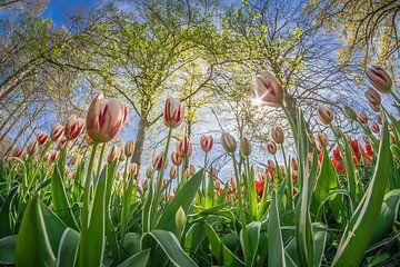 Hollandse tulpen sur Niels Barto