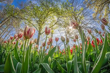Hollandse tulpen von Niels Barto