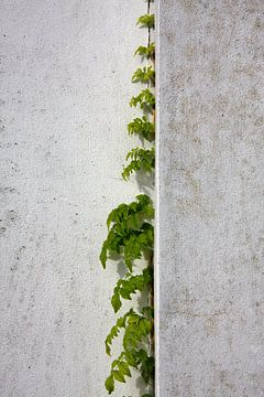 Blauweregen klimt witte gepleisterde muur van Jan Brons